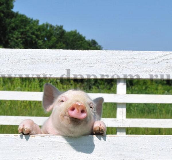 Комплект для содержания свиней ДППС-12-1000 - фото 29477